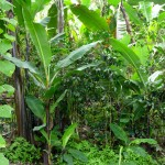 Agroforesterie - Pérou-9