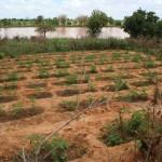 Casiers irrigués de tomates - Niger-4