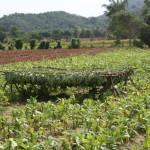 Séchage du tabac - Cuba-2