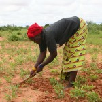 Sarclage des arachides à la daba - Niger-5