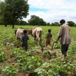Sarclage du coton à la charrue attelée - Burkina Faso