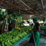 Traitement des bananes - Colombie-8