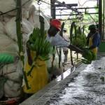 Banane (préparation des mains)