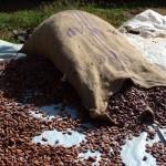 Cacao 2 (fèves fermentées)