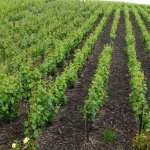 mulch-entre-rangs-de-vigne-verzenay-france