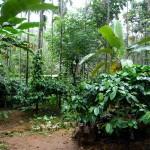 Agroforesterie - Inde-17