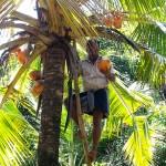 Récolte de noix de coco - Sri Lanka-25