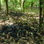 Valorisation des cabosses comme fertilisant - Togo-12