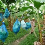 Cablage d'une plantation de bananes (Colombie)