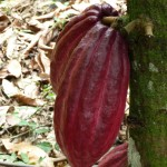 Cacao (cabosse)