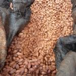 Cacao (fèves en cours de fermentation)