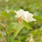 Coton (fleur)