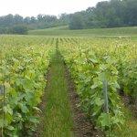 enherbement-parcelle-vigne-verzenay-france