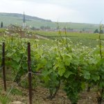 parcelle-vigne-verzenay-france